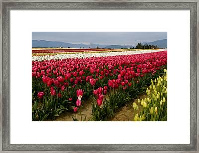 Tulip Fields Framed Print by Sonja Anderson