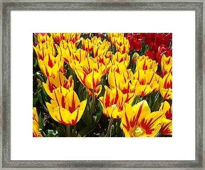 Tulip Flowers Festival Yellow Red Art Prints Tulips Framed Print