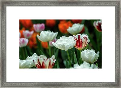 Framed Print featuring the photograph Tulip Flowers by Pradeep Raja Prints