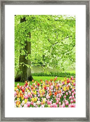 Tulip Garden - Amsterdam Framed Print