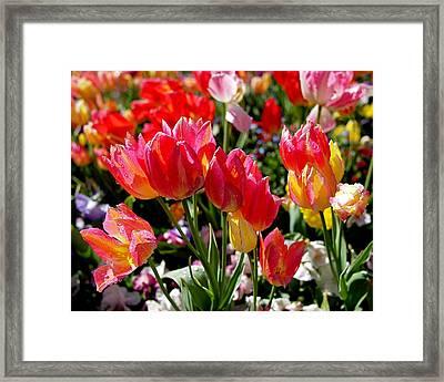 Tulip Garden Framed Print by Rona Black