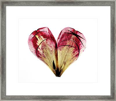 Tulip Heart Framed Print by Nailia Schwarz