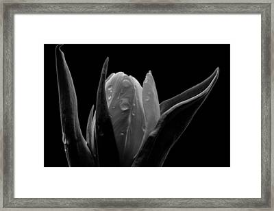 Tulip In Black And White Creative Edit Framed Print by David Haskett