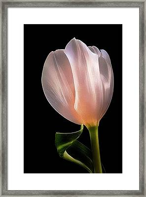 Tulip In Light Framed Print