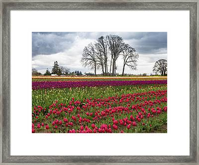 Tulip Line Up Framed Print by Jean Noren