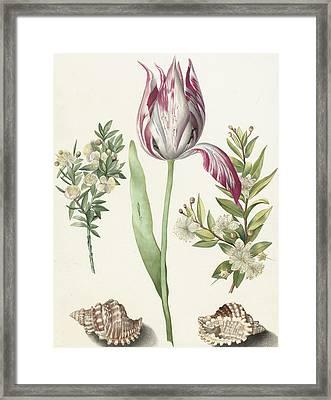Tulip Framed Print by Maria Sibylla Graff Merian