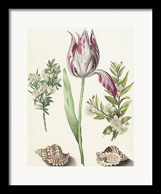 Sea Shell Fine Drawings Framed Prints