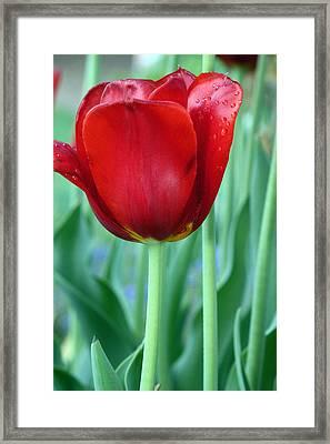 Tulip Framed Print by Michelle Joseph-Long