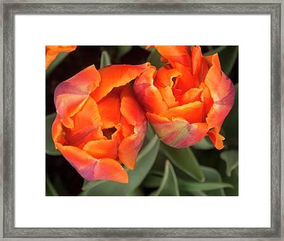 Tulip Pair Framed Print by Jean Noren
