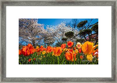 Tulip Panorama Framed Print by Inge Johnsson