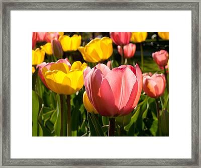 Tulip Pastels Framed Print by Charlet Simmelink