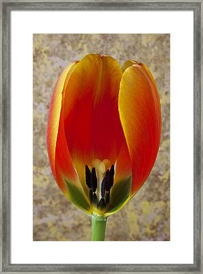 Tulip Petals Framed Print by Garry Gay
