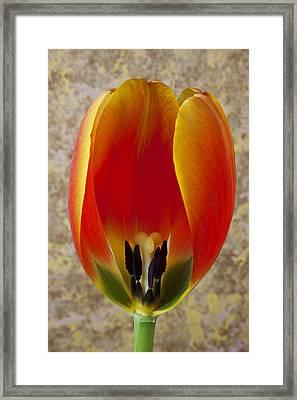 Tulip Petals Framed Print by Garry Gay