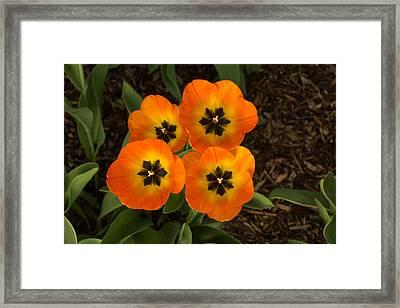 Tulip Quartet - Enjoying The Beauty Of Spring Framed Print