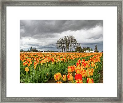 Tulip Rows Framed Print by Jean Noren