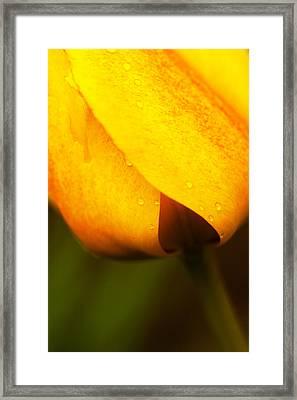 Tulip Spade Framed Print by Karol Livote
