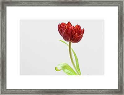 Tulip Still Life Framed Print
