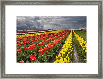 Tulip Storm Framed Print by Mike  Dawson