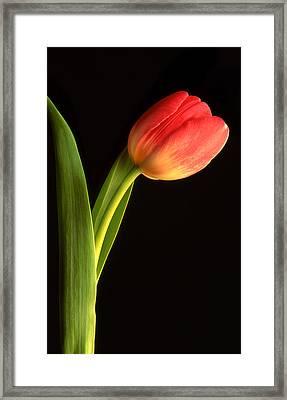 Tulip  Framed Print by Tony Ramos