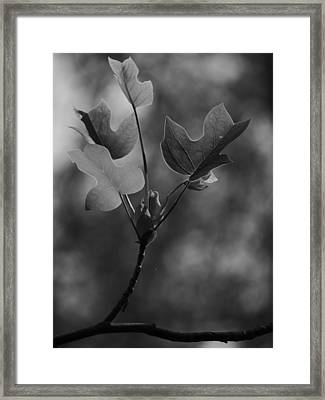 Tulip Tree Leaves In Spring Framed Print