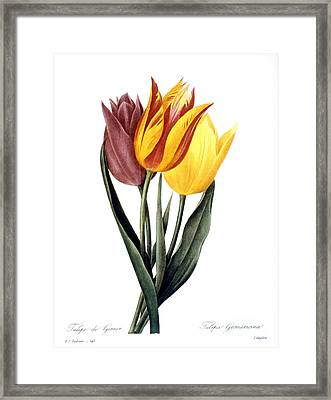 Tulip (tulipa Gesneriana) Framed Print by Granger