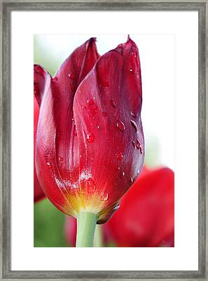 Tulip With Dew Framed Print