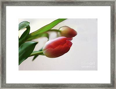 Framed Print featuring the photograph Tulipa by Jacqi Elmslie