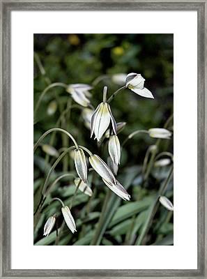 Tulipa Turkestanica Framed Print