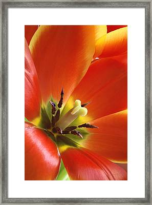 Tuliplicious Framed Print