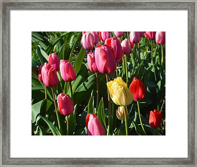 Tulips 2015 Framed Print by Tina M Wenger