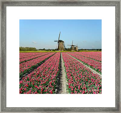 Tulips And Windmills In Holland Framed Print