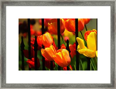 Tulips And Wrought Iron Framed Print