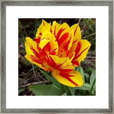 #tulips Are My Favourite Flowers And Framed Print by Dante Harker