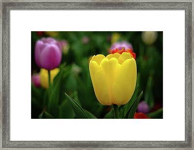 Tulips At Campus Framed Print