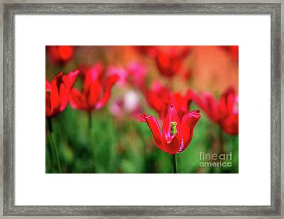 Tulips At Honor Heights Framed Print by Tamyra Ayles