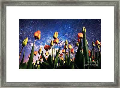 Tulips At Night Framed Print by Sebastien Coell