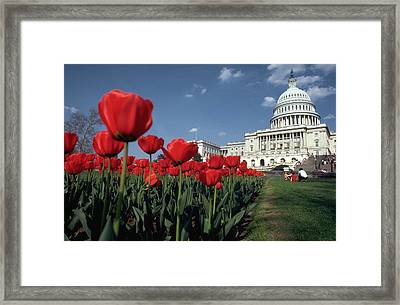 Tulips At The Capitol Framed Print by Carl Purcell