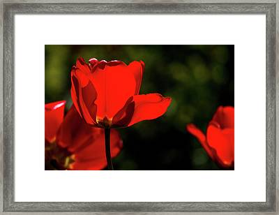 Tulips Blooming Framed Print