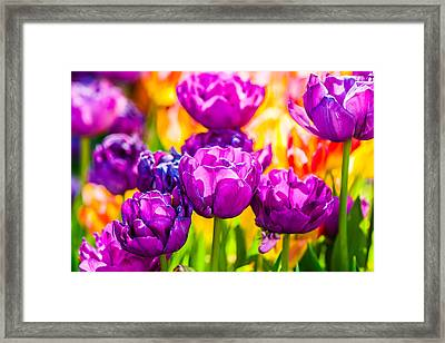 Tulips Enchanting 05 Framed Print by Alexander Senin