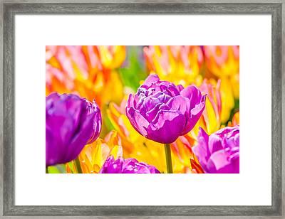 Tulips Enchanting 06 Framed Print by Alexander Senin