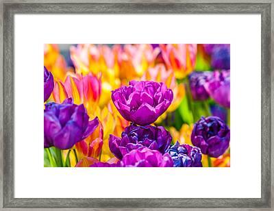 Tulips Enchanting 08 Framed Print by Alexander Senin