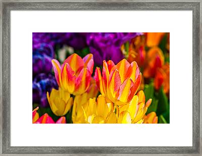 Tulips Enchanting 09 Framed Print by Alexander Senin