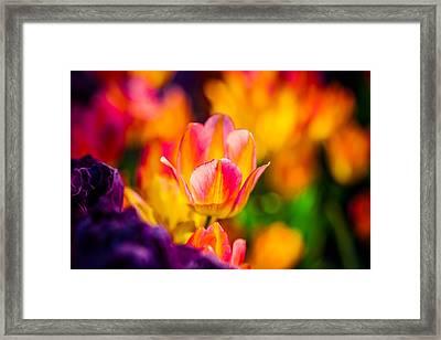 Tulips Enchanting 15 Framed Print by Alexander Senin