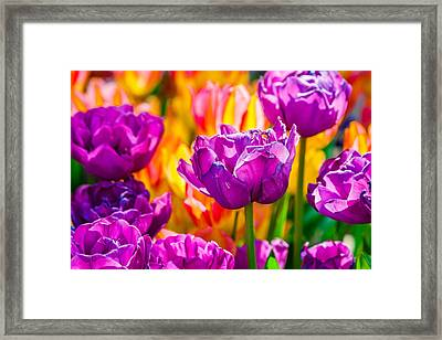 Framed Print featuring the photograph Tulips Enchanting 41 by Alexander Senin