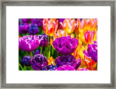 Framed Print featuring the photograph Tulips Enchanting 42 by Alexander Senin