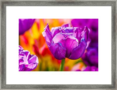 Framed Print featuring the photograph Tulips Enchanting 43 by Alexander Senin