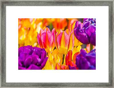 Framed Print featuring the photograph Tulips Enchanting 45 by Alexander Senin