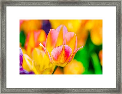 Framed Print featuring the photograph Tulips Enchanting 48 by Alexander Senin