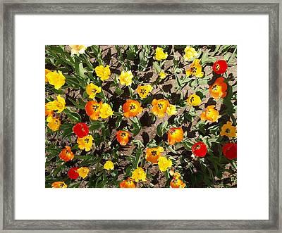 Tulips From A Birds Eye Framed Print by Jacob Stempky