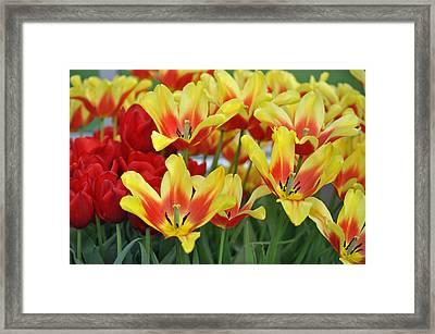 Tulips Glorious Tulip Monsella Framed Print by Debra  Miller